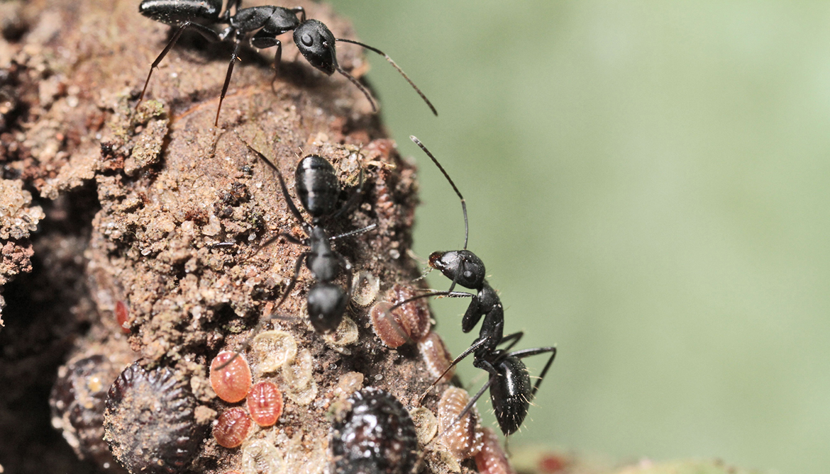 healthy ants