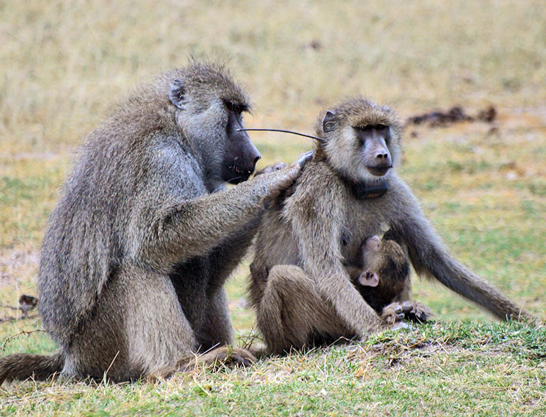 male baboon grooms a female