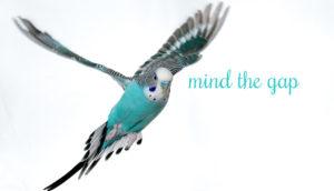 budgerigar flying