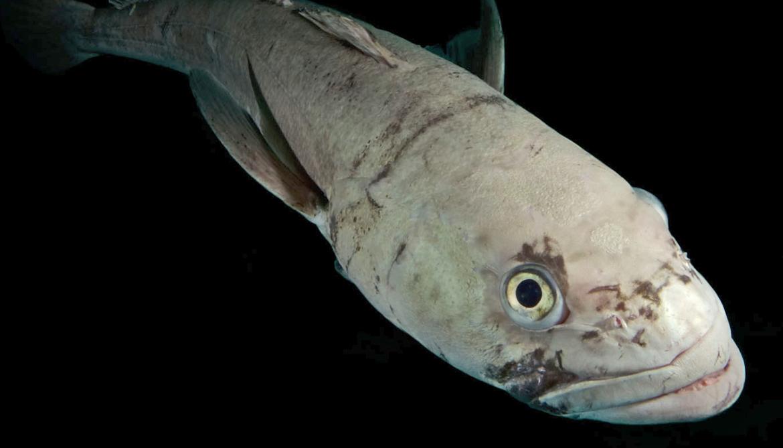 Chilean sea bass, a notothenioid fish