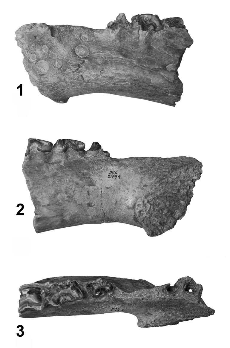 Jaggermeryx naida jawbone