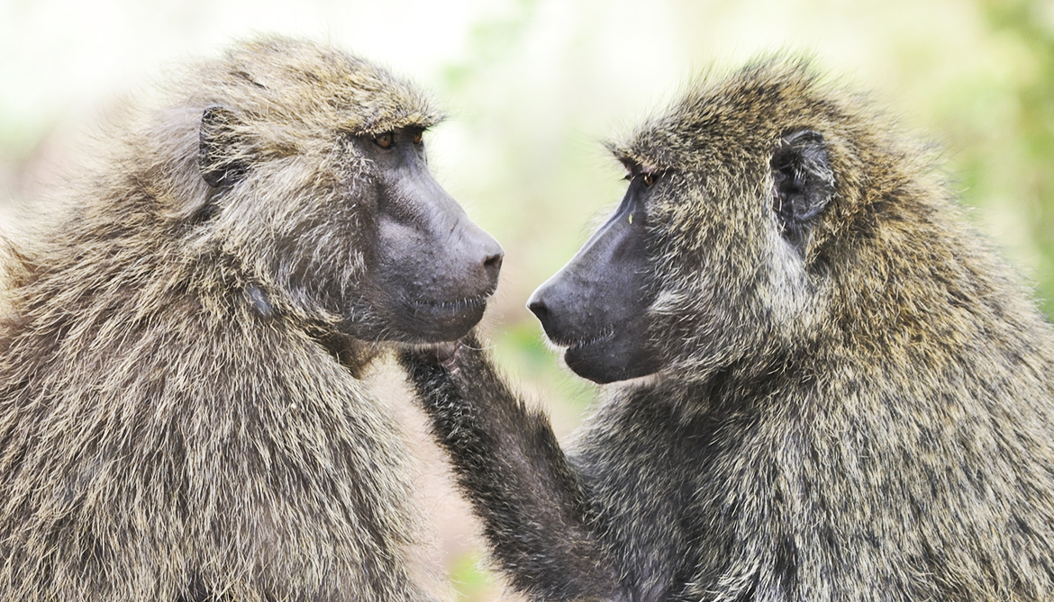Boost Near Me >> Baboons with 'boyfriends' live longer - Futurity
