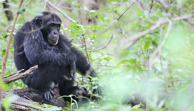 What makes one chimp kill another?