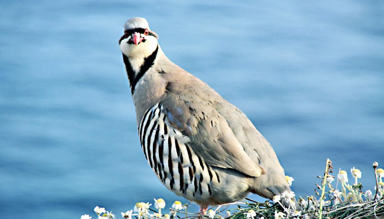adult chukar bird looking awkward