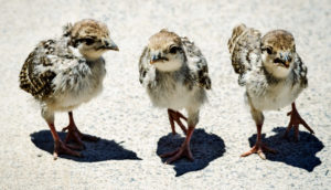 chukar chicks