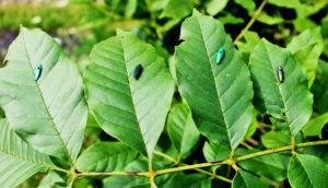 emerald ash borer decoys