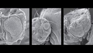 fruit fly eyes