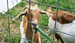 goats eat invasive plant