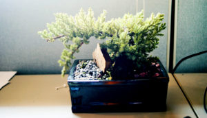 bonsai tree in a cubicle