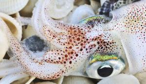 white squid