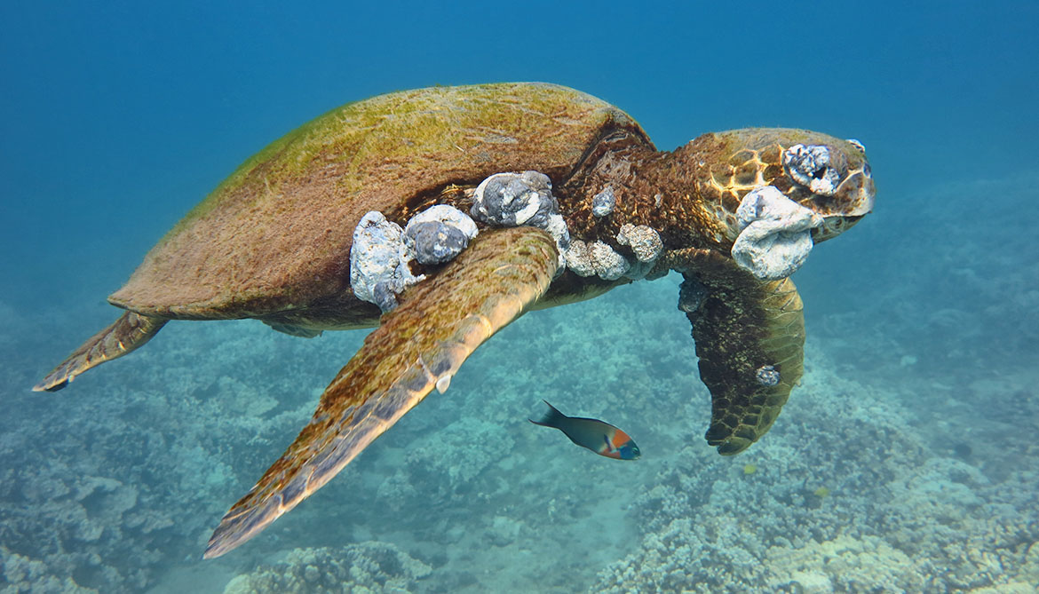 A sea turtle with Fibropapillomatosis-caused tumors.