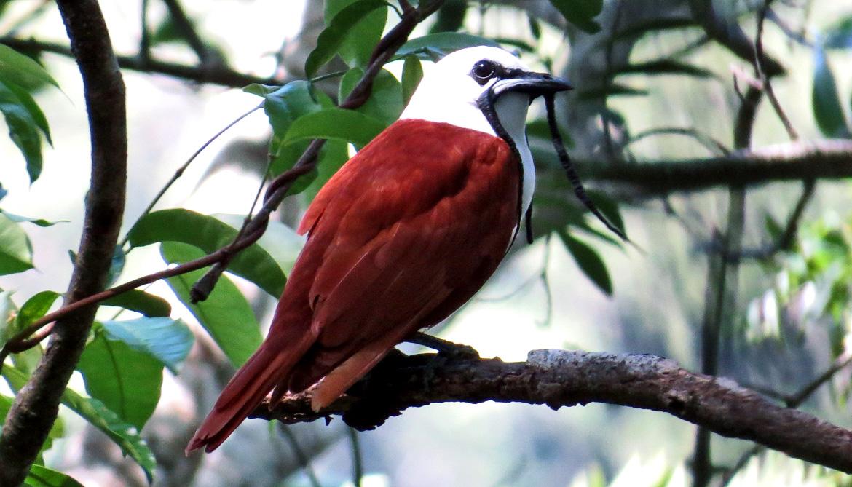 Three-wattled Bellbird