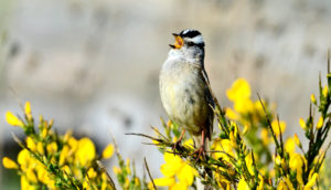 Gambel's white crowned sparrow