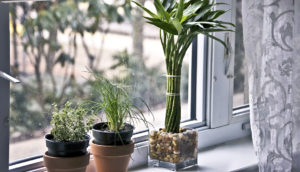 """lucky bamboo"" plant in window"