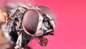 Musca domestica (house fly)