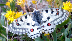 An alpine butterfly (Parnassius smintheus)