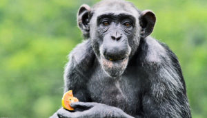 chimpanzee eats fruit