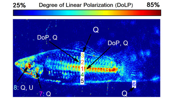 polarization on a swordtail fish