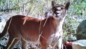 female mountain lion