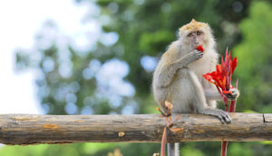 rhesus monkey eats a red flower