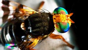 Eastern Cherry fruit fly