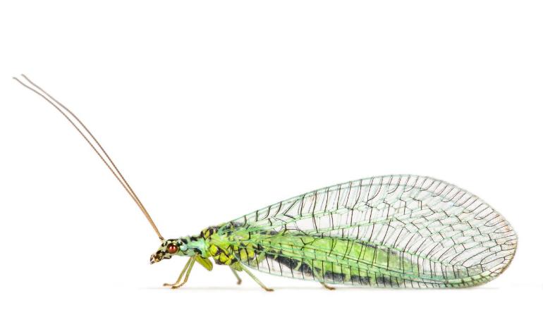 Lacewing (Chrysopa perla)