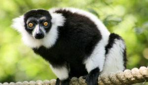 southern black-and-white ruffed lemur