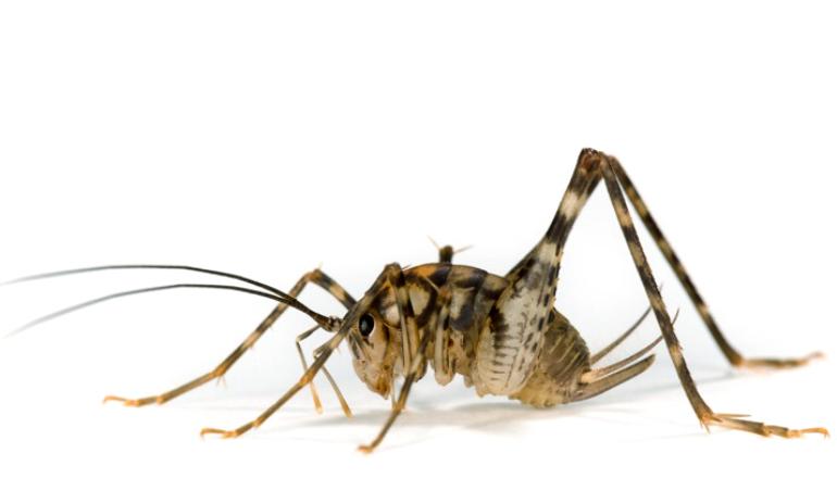Greenhouse cricket (Diestrammena asynamora)