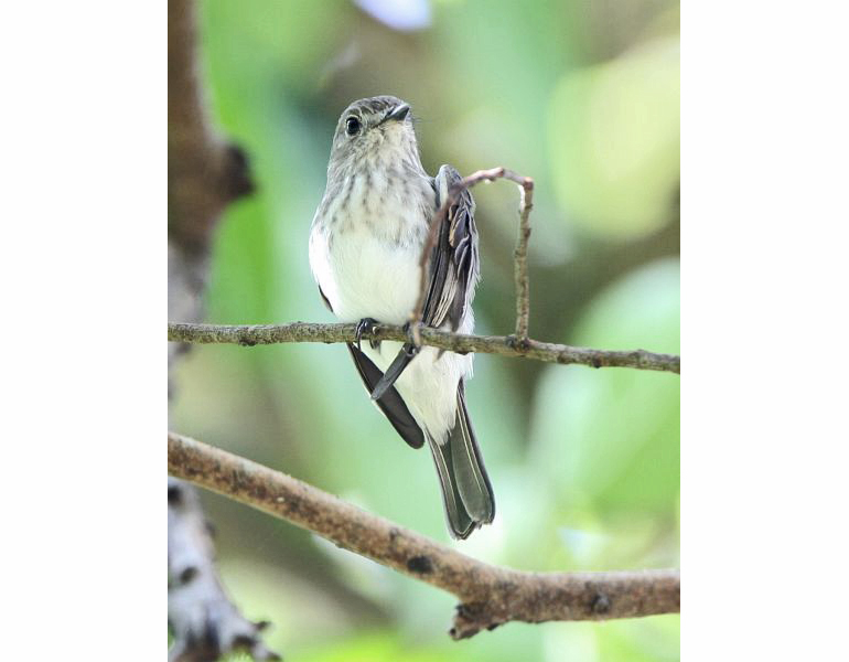 the Sulawesi streaked flycatcher