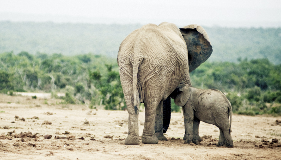 Loss of elephants (and their poop) devastates forests