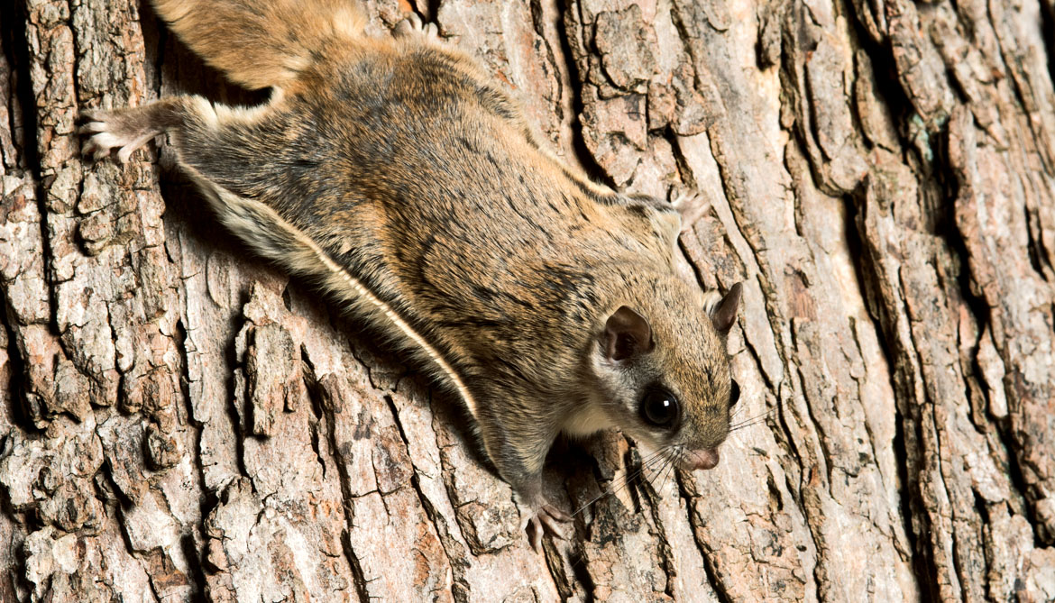 southern flying squirrel on tree