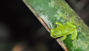 R. chalazodes frog on bamboo