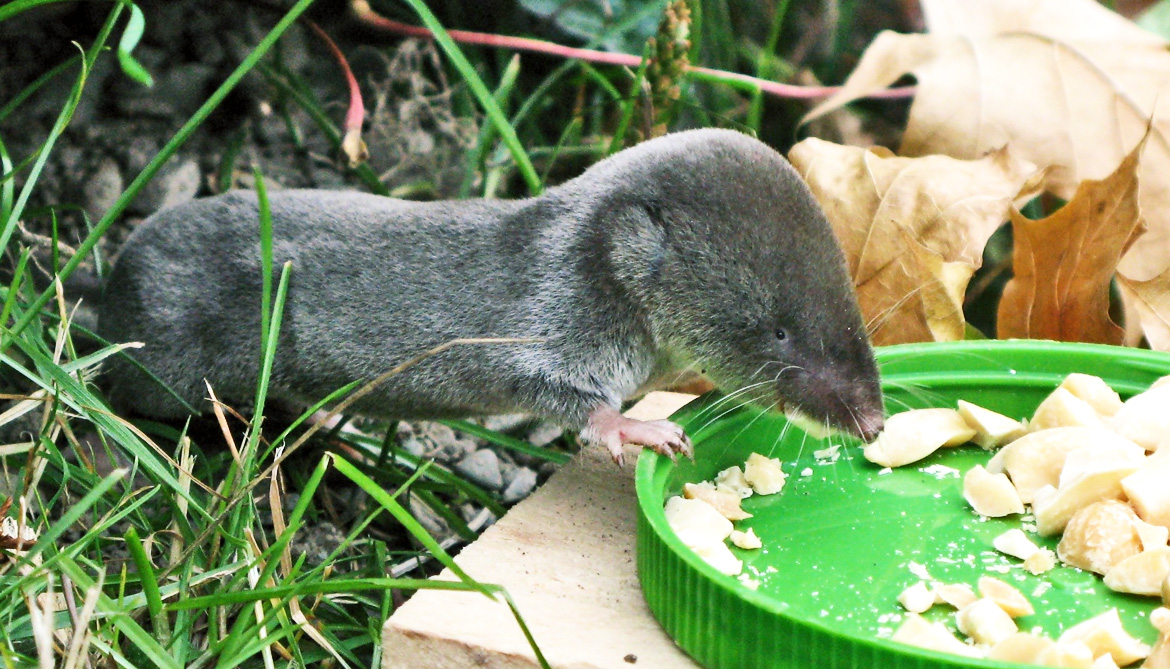 short-tailed shrew eats peanuts