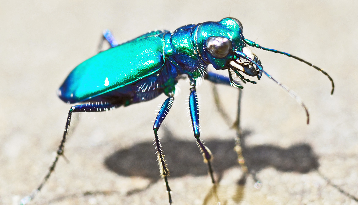 How speedy tiger beetles nab prey they can't see