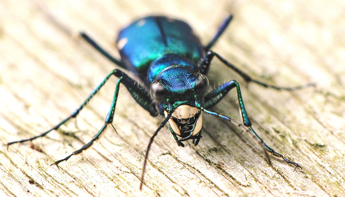 How Speedy Tiger Beetles Nab Prey They Can T See Futurity