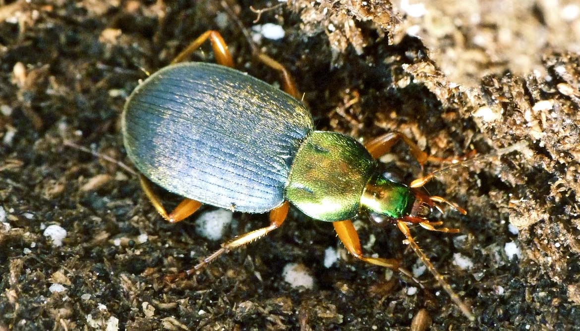 beetle that eats slugs