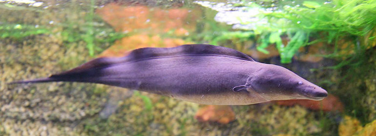 Gymnarchus electric fish