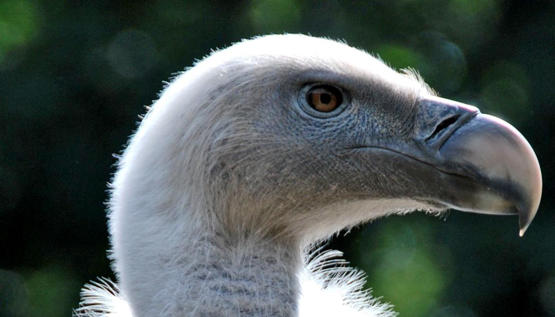 Griffon vulture in profile