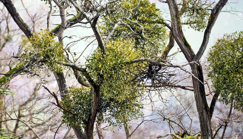 6 weird facts about mistletoe - Futurity