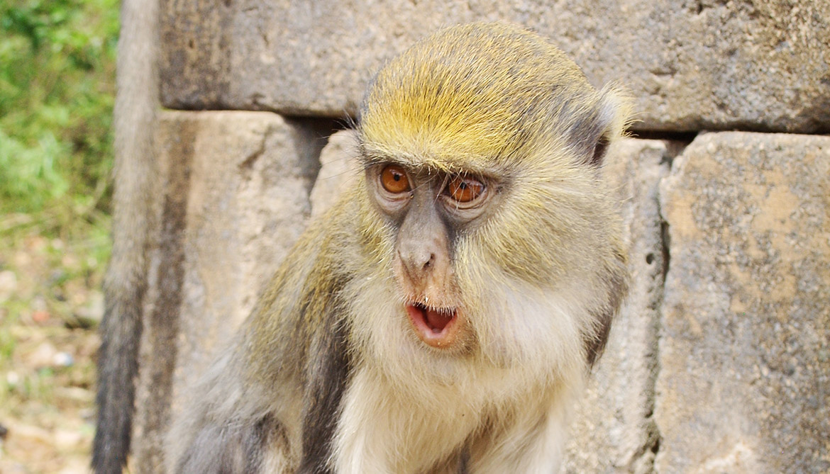 What 'hok' and 'krak' mean to monkeys