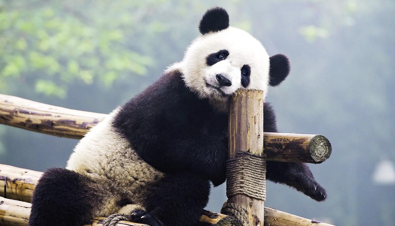 panda leans against a perch