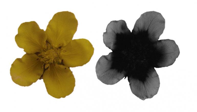 flower in visible light and UV light