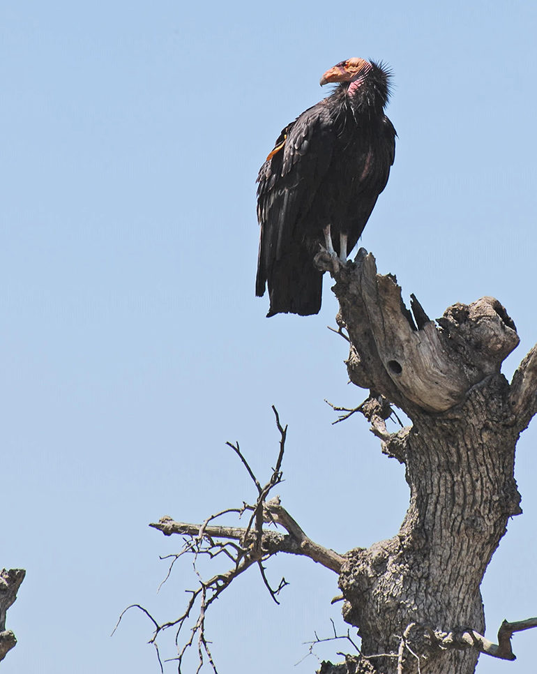 perched California condor