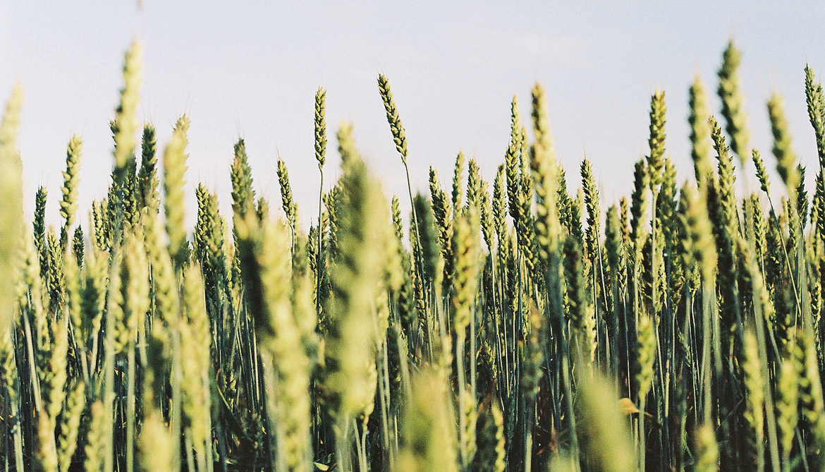 Hotter climate could 'wilt' wheat crops