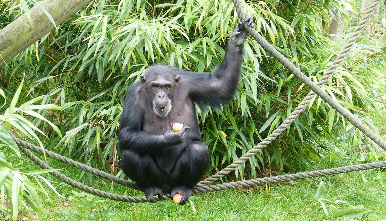 chimpanzee eats an apple