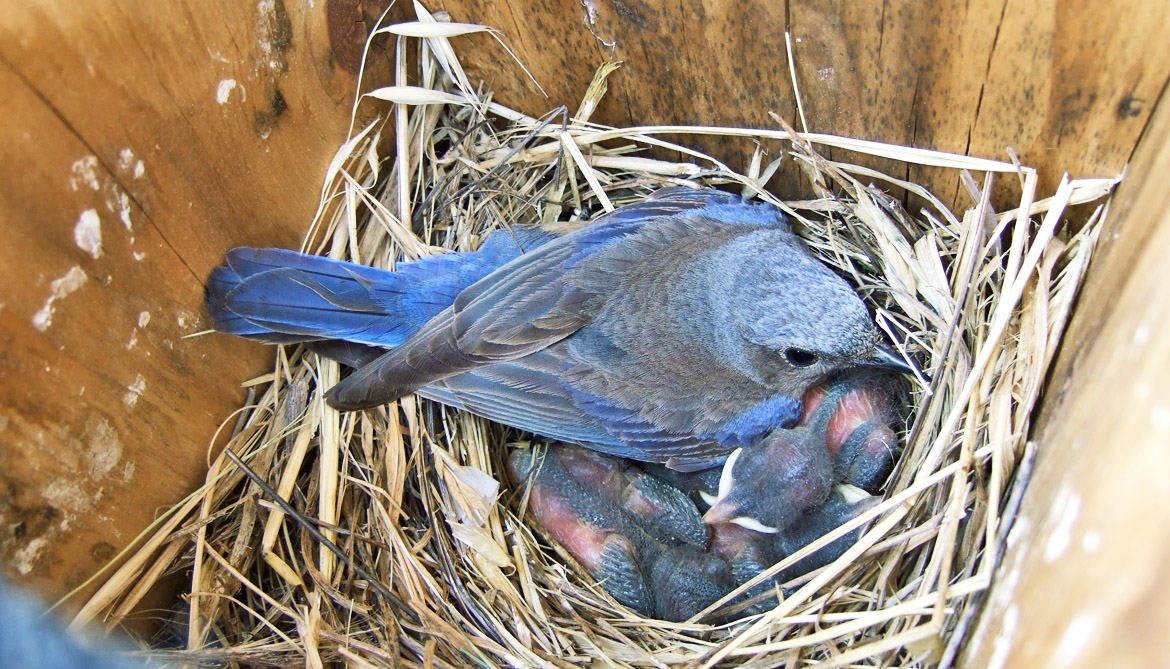 female western bluebird with nestlings