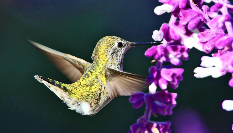 anna's hummingbird hovers