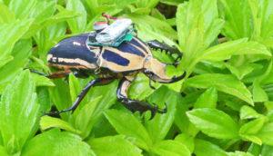 cyborg beetle