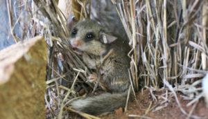 dormouse in grass