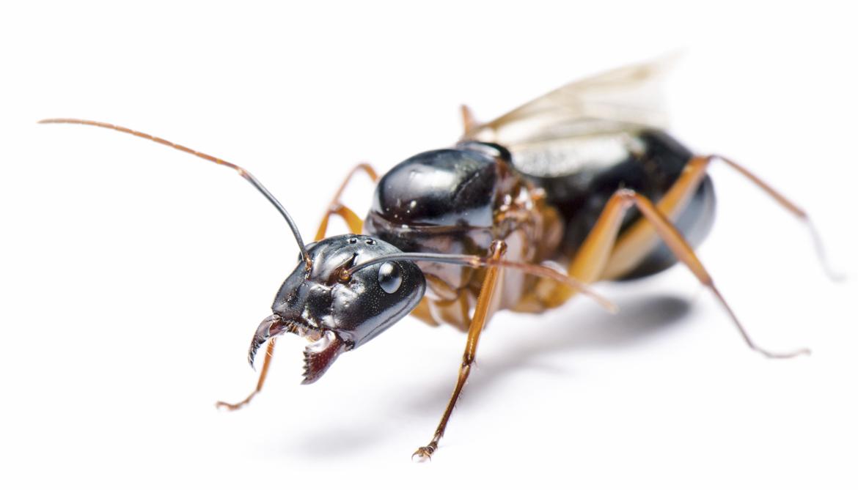 How epigenetics let scientists make giant ants